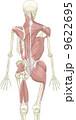 人体骨格と筋肉(背面) 9622695