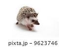 ハリネズミ 9623746