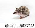 ハリネズミ 9623748
