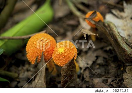 オレンジ色の毒キノコ 9627185