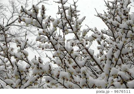 白梅に積もる雪 9676511