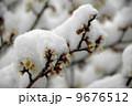 積雪 梅 白梅の写真 9676512