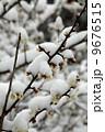 積雪 梅 白梅の写真 9676515