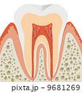 歯の断面 9681269