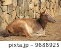 シフゾウ 四不像 陸上動物の写真 9686925