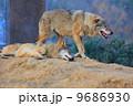 ヨーロッパオオカミ タイリクオオカミ 狼の写真 9686930