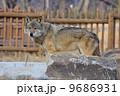 タイリクオオカミ ヨーロッパオオカミ 狼の写真 9686931