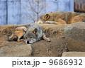 ヨーロッパオオカミ タイリクオオカミ 狼の写真 9686932