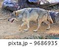 タイリクオオカミ ヨーロッパオオカミ 狼の写真 9686935