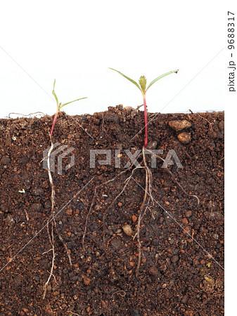 マリーゴールドの芽生え 9688317