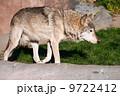 自然 おおかみ オオカミの写真 9722412