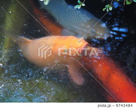 凍った池の鯉 9743484