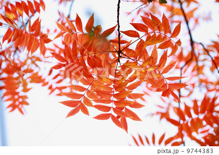 赤い葉 モミジの葉 赤葉 9744383
