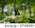 初夏のアオスジアゲハ 9748360