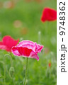 初夏のポピー 9748362