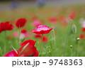 昭和記念公園のポピー 9748363