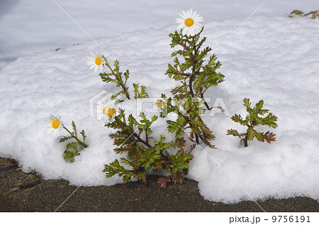 雪の中に咲く花  9756191