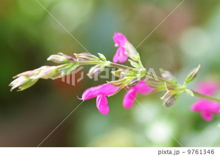 サルビアチアペンシスの花 9761346