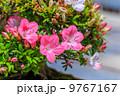 サツキ 盆栽 皐月の写真 9767167