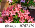 サツキ 盆栽 皐月の写真 9767170