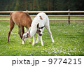 Two baby lamas playing together 9774215