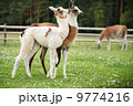 Baby lamas playing together 9774216