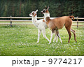 Two baby lamas on a farm yard 9774217