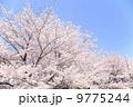 桜 9775244