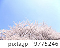 桜 9775246