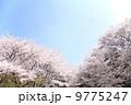 桜 9775247