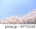 桜 9775248
