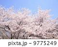 桜 9775249