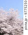 桜 9775250