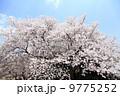 桜 9775252