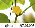 家庭菜園・夏野菜キュウリの花 9786806
