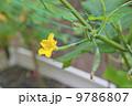 家庭菜園・夏野菜キュウリの花 9786807