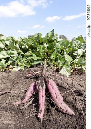 時期 サツマイモ 収穫 サツマイモの収穫時期|目安やタイミング、収穫後の保存の方法は?|🍀GreenSnap(グリーンスナップ)