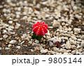 Cactus'Gymnocalycium mihanovichii var. friedrichii cv. Hibotan' 9805144