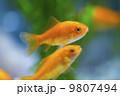 金魚(小赤) 9807494