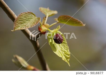 ハンカチの木の蕾です。 9818877