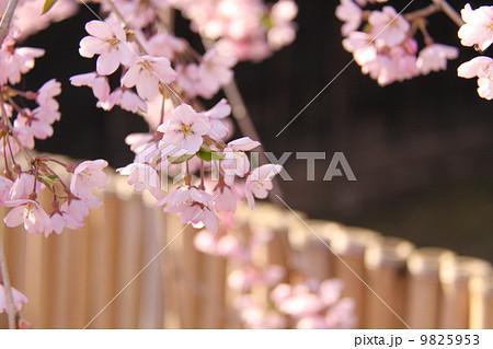 しだれ桜 9825953