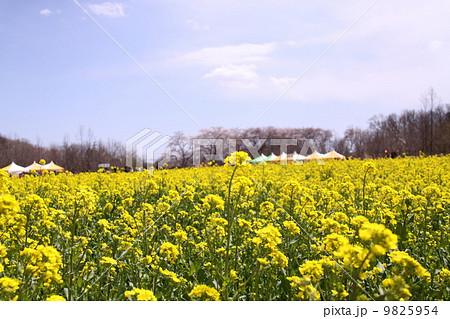 菜の花畑 9825954
