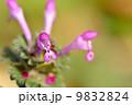 ホトケノザ 9832824