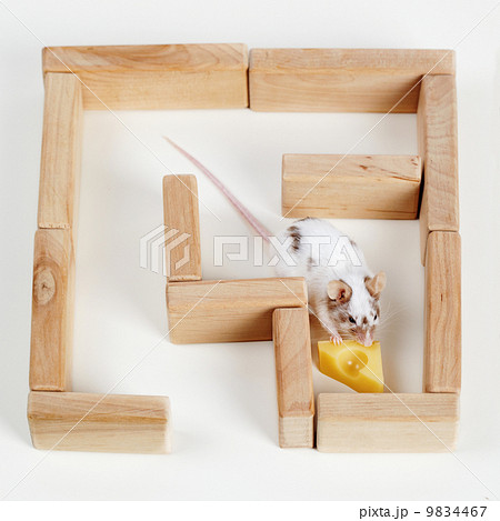 smart mouse in maze looking for cheeseの写真素材 [9834467] - PIXTA