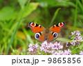 翅を広げたクジャックチョウ 9865856