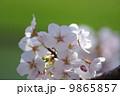 サクラサク 9865857