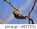 コゲラ 鳥類 鳥の写真 9877531