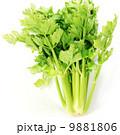 淡色野菜・セロリ1株直立アップ・白バック正方形 9881806