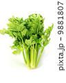 淡色野菜・セロリ1株直立・白バック縦位置 9881807