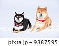 日本犬 雪 動物の写真 9887595